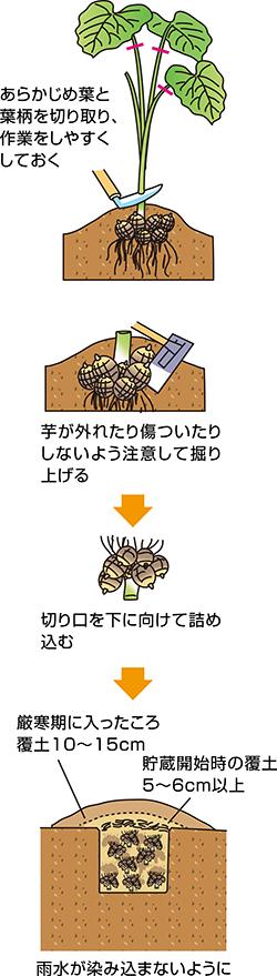 サトイモの収穫と上手な貯蔵の仕方