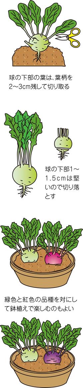 茎が球形に膨らみ見ても楽しいコールラビ
