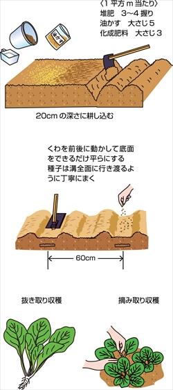 連作にも強く、長期収穫も狙える小松菜