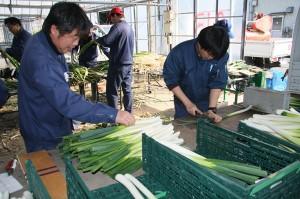 営農経済渉外員が白ネギや加工用白菜を栽培